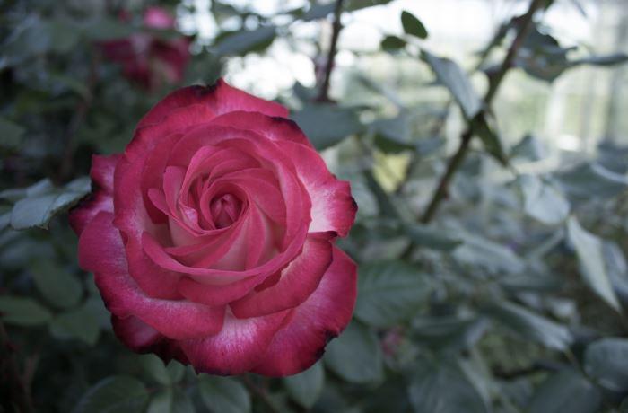 Werndee Rose
